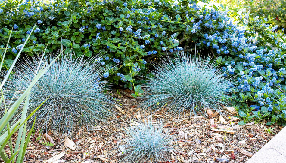 Theodore Payne Foundation landscaping with ceanothus and native grasses.
