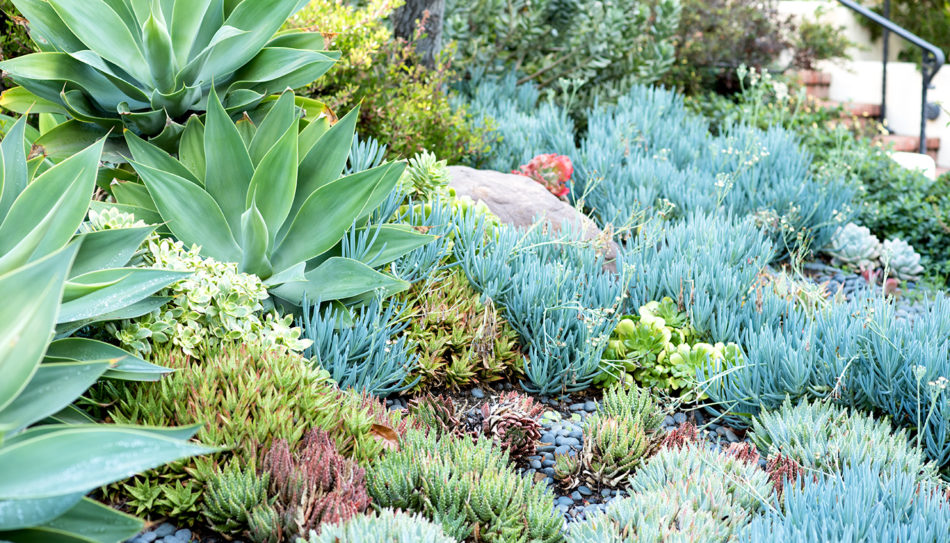 Front yard succulents tended by the landscaping company True Gardener