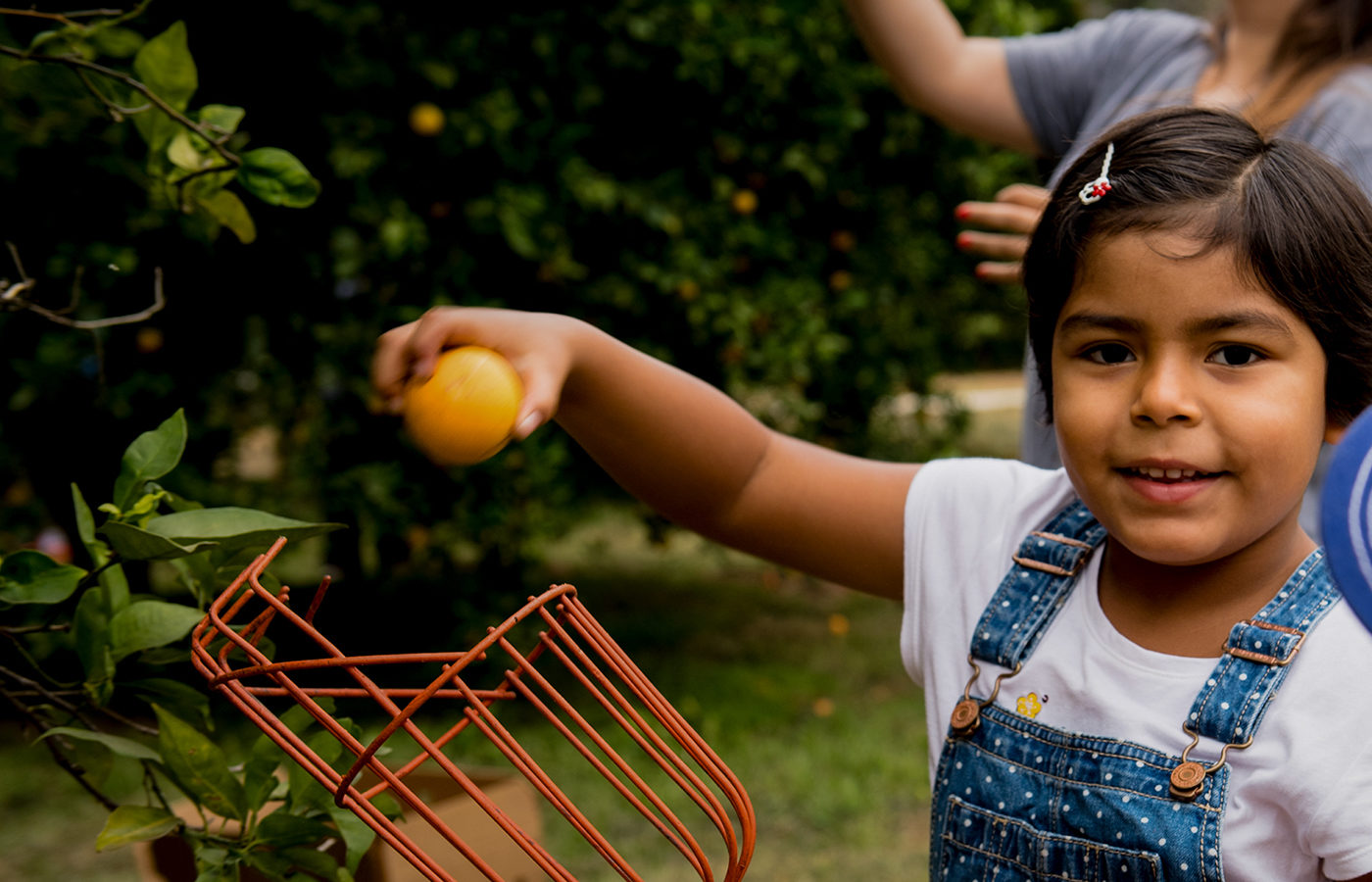 A girl in an orchard picks oranges for the food relief program, Food Forward.