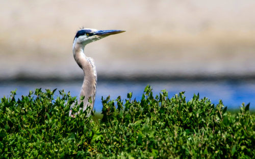 Volunteers keep the Ballona Creek clean and plant native plants to encourage wildlife like this bird.